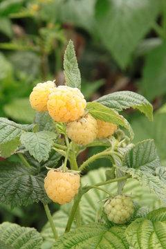 Rubus idaeus Golden 1