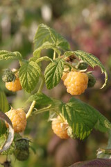 Rubus idaeus Golden Everest 8