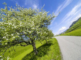 Pear tree in blossom at the roadside, Austria, Lower Austria, Mo