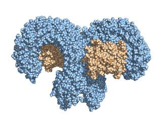 Toll-like receptor (TLR4) bound to MD2 (orange). Space-filling model.