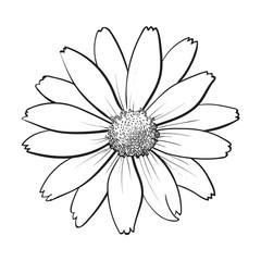 Openblack and white heliopsis blossom, top view, sketch style vector illustration isolated on white background. Realistic top view hand drawing of wild, field heliopsis, false sunflower