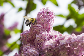 Bumblebee pollinating a lilac