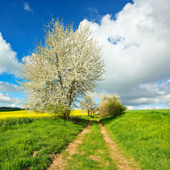 Fototapete - Landschaft im Frühling, Kirschbäume in voller Blüte, grüne Wiese, Rapsfeld, Feldweg