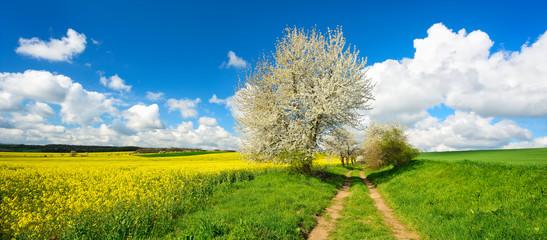 Wall Mural - Landschaft im Frühling, Kirschbäume in voller Blüte, grüne Wiese, Rapsfeld, Feldweg