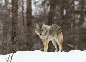 Coyote walking in the winter snow