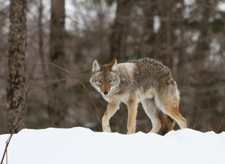 A lone Coyote walking in the winter snow in Canada