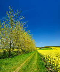 Fototapete - Kulturlandschaft im Frühling, blühendes Rapsfeld, Feldweg, blauer Himmel