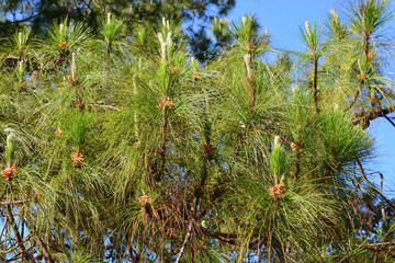 The Pinaceae (pine family) are trees in forest