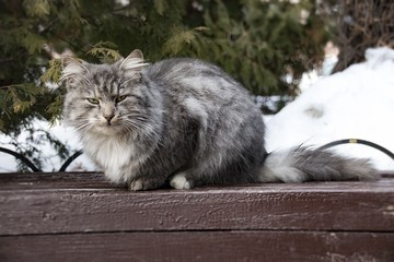 Very fluffy cat sits on a bench