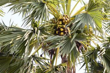 Sugar palm fruits on tree.