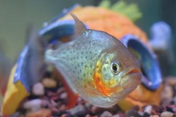 Piranha Pose