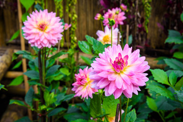 Beautiful Dahlia flowers