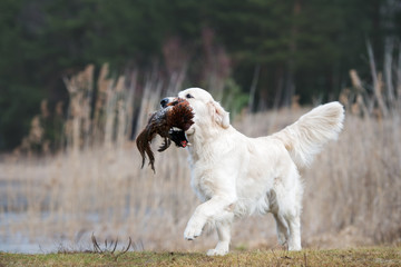 golden retriever dog carrying a pheasant