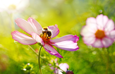 Bee working on white cosmos flower.