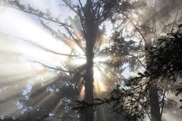 Light Burst Behind Tree, Washington Forest