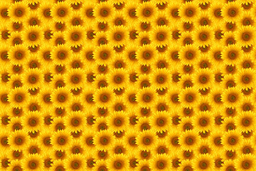 Wall Mural - flower sunflower  summertime