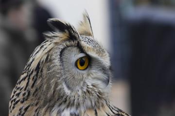 Siberian eagle owl side view