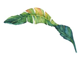 Exotic tropical banana leaves. Hand drawn watercolor painting.