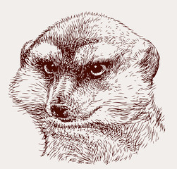 portrait of an angry mongoose