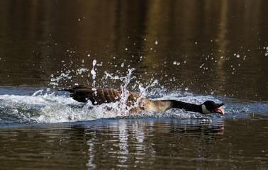 Kanadagans  auf dem Neuer See im Tiergarten