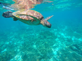Sea turtle in turquoise water. Green sea turtle close photo. Lovely tortoise closeup.