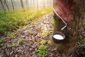Para rubber tree plantation in Southeast Asia.Selective focus and color toned.Rubber tree and bowl filled with latex,the plantation economy of Southeast Asia.Selective focus and color toned.