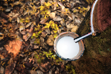 Rubber tree and bowl filled with latex,the plantation economy of Southeast Asia.Selective focus and color toned.