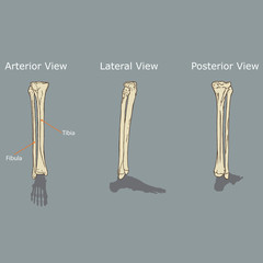 Fibula and Tibia Anatomy Vector