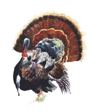 Turkey bird watercolor painting isolated in white. Thanksgiving card.