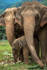 Three elephants in nature park - Chiang Mai, Thailand
