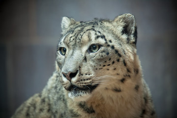 Snow leopard portrait black & white