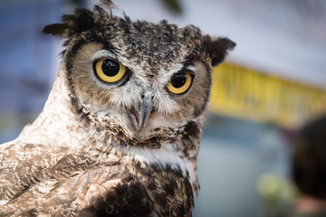 A rescued great horned owl at a local event.
