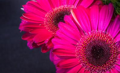 Door stickers Gerbera Closeup of two beautiful fresh pink gerbera daisies in the dark background