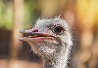 Close up head of ostrich ( Struthio camelus ) selective focus