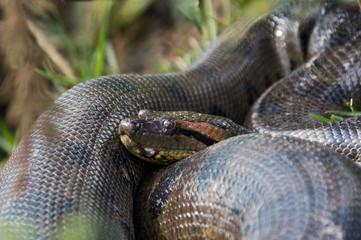 The head of a two-meter anakonda - El Cedral, Los Llanos, Venezuela