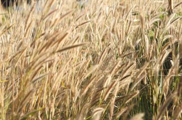 Beautiful grass flower under warm sunlight