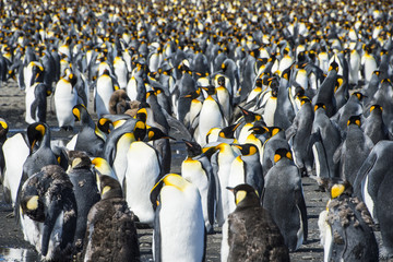 Giant king penguin (Aptenodytes patagonicus) colony, Salisbury Plain, South Georgia, Antarctica, Polar Regions