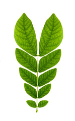 leaf isolate natural