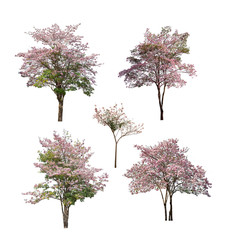 Collection of isolated tree with pink flower on white background