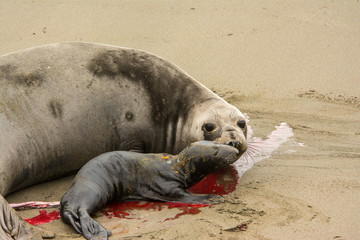 Female elephant seal greats her new born pup at Piedras Blancas rookery, Near San Simeon, CA