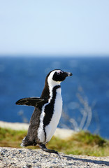 African penguin standing on rocks