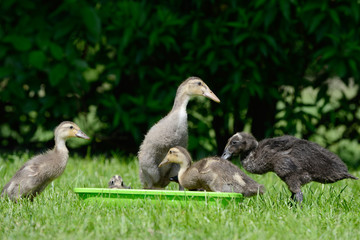 Domesticated ducks on Water bowl on meadow