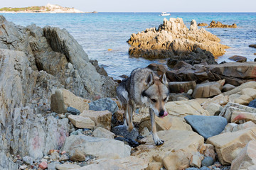 Czech Wolfdog in Sardinia, Italy