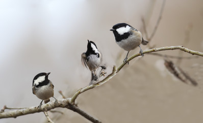 Two coal Tits are watching the process of the flight of the third