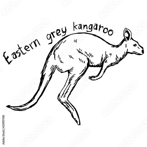 eastern grey kangaroo vector illustration sketch hand drawn with