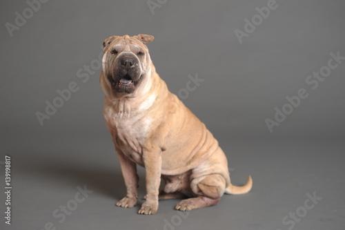 chinese shar pei dog stockfotos und lizenzfreie bilder auf bild 139198817. Black Bedroom Furniture Sets. Home Design Ideas