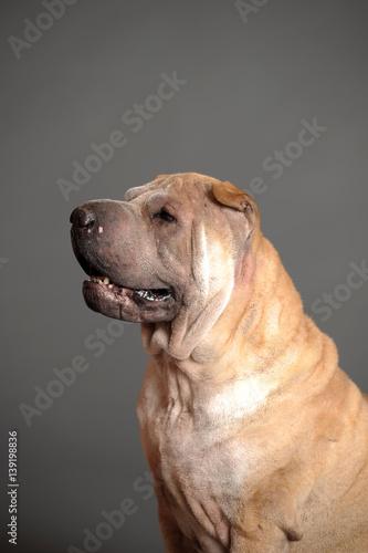 chinese shar pei dog stockfotos und lizenzfreie bilder auf bild 139198836. Black Bedroom Furniture Sets. Home Design Ideas