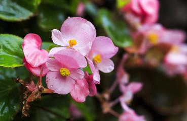 begonias flower eve rose isolated image