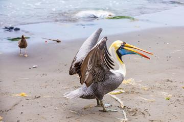 Pelican on Ballestas Islands,Peru South America in Paracas National park. Flora and fauna