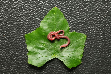 An earthworm on the fresh green leaf represent the animal and plant concept related idea.